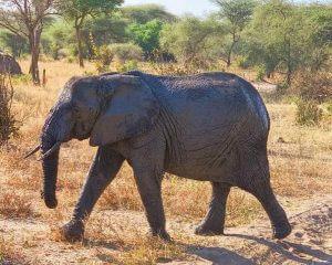 Enduimet Wildlife Management Area Elephant